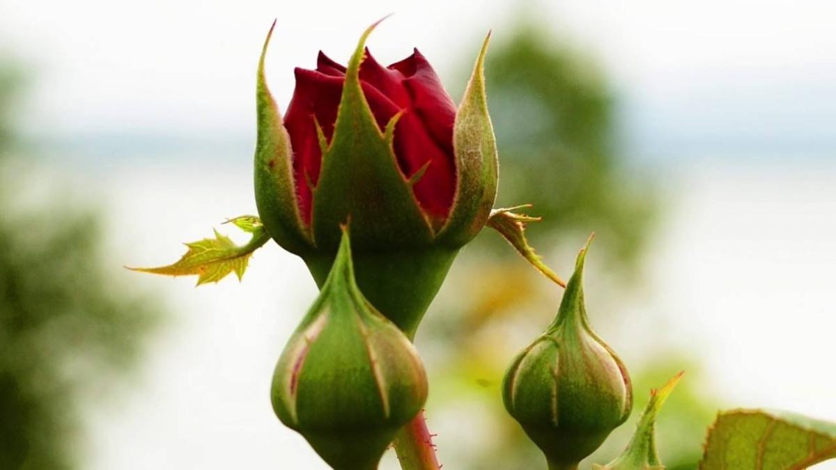 Urlicht, flor primera del universo mahleriano